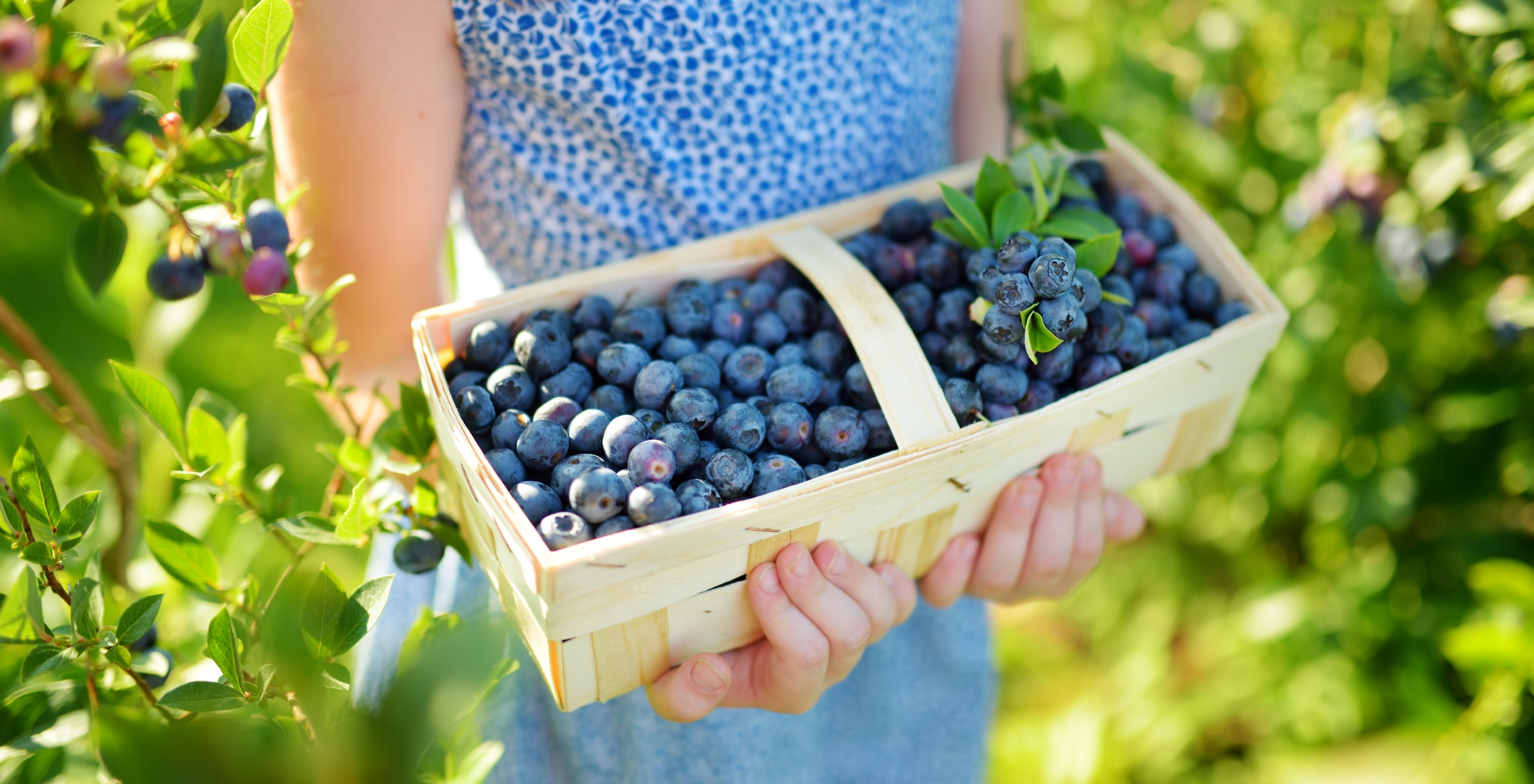 Photo of a little girl holding a basket of blueberries